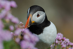 Puffin (murphy197) Tags: puffin bird nature naturephotography nikond7100 alcids fratercula pelagic seabird saltee ireland wildatlanticway