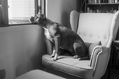 _DSF1910 (michael.hultstrom) Tags: boxer dogs skrållan bored blackwhite