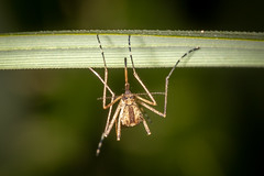 Mosquito (Steve Ln) Tags: brandonmarsh culisetaannulata female mosquito
