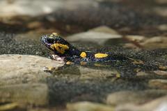 Feuersalmander (Aah-Yeah) Tags: feuersalamander schwanzlurch caudata salamandra salamander blütenstaub achental chiemgau bayern
