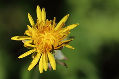 perfect imperfection (Moni'cam ツ) Tags: macro flower flora dandelion