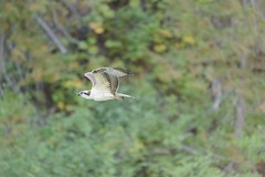 Osprey (derliebewolf) Tags: adler greifvögel vögel wildlife osprey fisheagle nature hiking rocky crownofthecontinent travel summer backcountry sunrise earlymorning