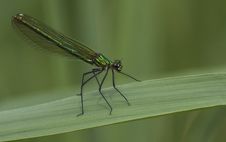 Damselfly - Breathtaking but short lived
