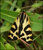 Wood Tiger Moth (glostopcat) Tags: moth insect invertebrate macro may spring glos butterflyconservation prestburyhillnaturereserve woodtigermoth