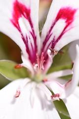 (Megs svg) Tags: nature pink garden geranium dof sunny germany pretty petals