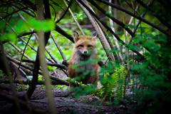 What does the fox say? (ZSJVHernandez) Tags: amateurphotography undiscoverphotographer canon canonrebelt6 animalphotography hdphoto photographysouls green forest naturephotography trees washingtonstate pacific northwest fox washington woods nature landscape