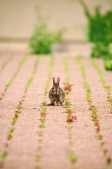 Serious Bunny is Serious (flashfix) Tags: june182018 2018inphotos ottawa ontario canada nikond7100 55mm300mm bokeh hare rabbit grass tree downtown nature mothernature animal wildlife green plant bushes bunny babyhare babybunny