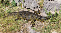 sunbathing on the river bank (werner boehm *) Tags: wernerboehm chobe botswana crocodile nature africa safari