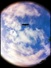 Birds Eye View (Captain Creepy) Tags: sky summer heron fisheye clouds