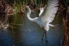 leap to flight (robertskirk1) Tags: nature outdoor wildlife animal bird great white egret rich grissom memorial wetlands viera florida fl