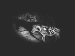 Zebra Shadow (Niklas H. Braun) Tags: lioness lion male female zebra wild dog vulture bird bones feeding kruger manyeleti game reserve south africa safari wildlife animals nature predator
