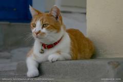 Skopelos cat (srkirad) Tags: animal ginger white travel outdoor greece skopelos island street town vacation sea summer cute bokeh blur dof depthoffield closeup