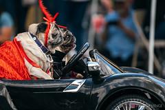 PugCrwal-66 (sweetrevenge12) Tags: portland oregon unitedstates us pug parade crawl brewing sony pugs dog pet
