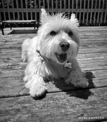 Catching Some Sun (mswan777) Tags: mobile iphone iphoneography apple michigan outdoor paw sun rest monochrome black cute terrier white highland west dog pet