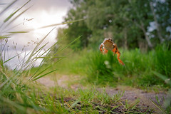 Agile frog, the jump (Matthieu Berroneau) Tags: grenouilleagile ranadalmatina agilefrog départementdelagironde aquitaine régionaquitaine amphibien amphibian amphibia anoura anoure tail less amphibians frog anura tailless morph pattern morphe varliagyviai basoigel gorria sonya7ii sonya7mk2 sonyalpha7mark2 sonyalpha7ii nature herpéto herpeto animal animaux jump saut bond jumping sauteuse fuite déplacement best