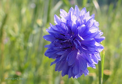Blue ... (MargoLuc) Tags: cornflower blue meadow green grass sunny day bokeh petals wildflowers springtime
