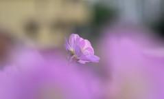 My dream (pasquale di marzo) Tags: flowers fiori fiore papavero rosa esterno mattino macro 2018