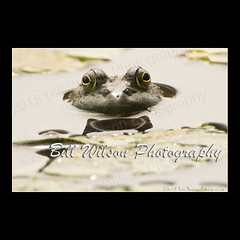 Frog (wildlifephotonj) Tags: frog bullfrog bullfrogs wildlifephotographynj naturephotographynj wildlifephotography wildlife nature naturephotography wildlifephotos naturephotos natureprints