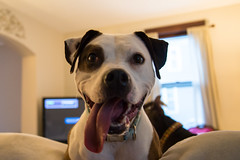 Our companions #22 (Joe_Petykowski_Jr) Tags: 52weeksof2018 lindy pet animal pitbullmix dog