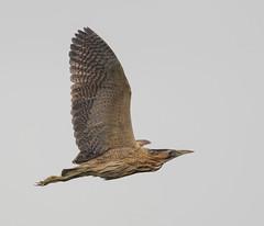 Minsmere flying Bittern