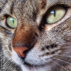 Sergio Leone Eyes (again) (Pedro Nogueira Photography) Tags: pedronogueiraphotography pedronogueira photography animal cat gato doméstico domestic kitty kittens pets pet mobilephone iphone5 telemóvel iphoneography p'eta