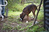Garden Angular (Bl.Mtns.Grandma) Tags: ddogchal boxer dog spade mattock yardart compost