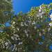 Cotton tree in Cienfuegos - The trip from Santa Clara to Rancho Luna beach via Cienfuegos, Cuba 2018