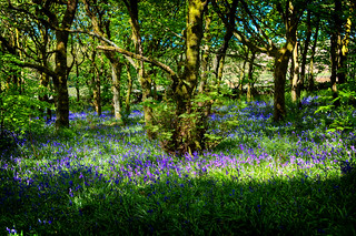 There once was a woodland full of Bluebells ...