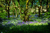 There once was a woodland full of Bluebells ... (Missy Jussy) Tags: bluebells bluebellwood wood woodland forest trees sunlight springtime spring piethornevalley rochdale landscape lancashire 50mm ef50mmf18ll ef50mm canon50mm fantastic50mm canon 5d canon5dmarkll canon5d canoneos5dmarkii