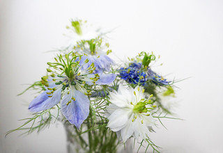 The end of a lovely bouquet of Nigella flowers
