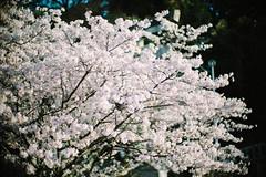 Sakura_2018 (oceanus2007 (***busy***)) Tags: sony a7mk2 a7ii noctilux 50mm f10 digital flower cherryblossom kochi shikoku
