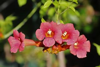 trumpet vine showing its splendor