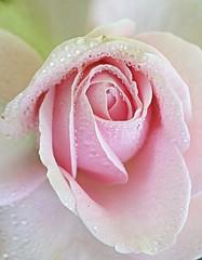 Pink rose (majka44) Tags: pink rose light droplet drop pearl garden macro flower macroworld