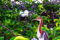 Tricolored Heron (g_4life101) Tags: sony alpha a6000 icle6000 sel55210 heron bird birds nature wakodahatchee wetlands southflorida florida