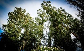 Swaying Eucalyptus