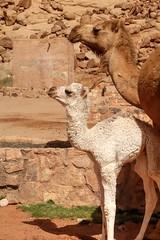 Wadi Rum (Enrica F) Tags: camello desierto wadirum jordania nikon