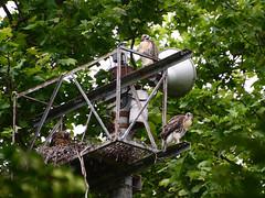 DSC_0830 (rbs10025) Tags: redtailedhawk buteojamaicensis young bird morningsideheights manhattan nyc nest grantstomb generalgrantnationalmemorial