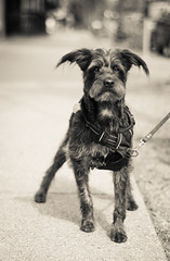 The Cuteness of Beans (Katrina Wright) Tags: dsc0636 dog terrier cute bw monochrome hmbt ears beans