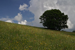 Frühlingswiese / Spring meadow (herbert@plagge) Tags: tree baum frühlingswiese schwarzwald simonswäldertal landschaft deutschland natur germany blackforest simonswaldvalley landscape nature spring meadow