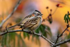 Chingolo (Javier Chiavone) Tags: argentina aves canon100400ii canon7dii chingolo naturaleza rufouscollaredsparrow ticotico tigre zonotrichiacapensis nature