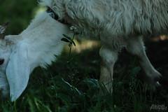 いのちがある (atacamaki) Tags: xt2 50140 xf f28 rlmoiswr fujifilm jpeg撮って出し atacamaki ヤギ life day animal flower japan かすみがうら ヤギカフェ goat