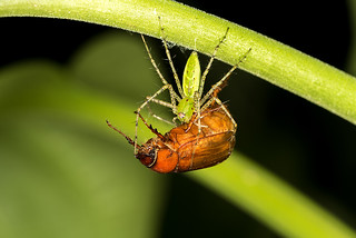 Green Lynx Spider with prey