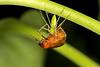Green Lynx Spider with prey (ClintHeeeerod) Tags: spider greenlynx arachnid bug junebug nikon nikkor 105mm ring flash flickrunitedaward