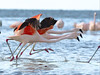 La gran carrera. The big race (Jose Lozada Naturaleza (Argentina)) Tags: flamenco austral marchiquita cordoba argentina vuelo flamingo argentine naturebest natureshot natgeo natgeowild birds he race is