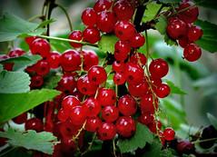 die Zeit ist reif !!! (karin_b1966) Tags: beeren berries frucht fruit garten garden natur nature strauch bush 2018 johannisbeeren