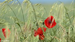 In the wind (patrick_milan) Tags: poppy red rouge green vert
