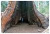 Louis Agassiz, so big they gave it a name (Paulemans) Tags: paulemans paulderoode 2018usavacation sony281635zassm tree sequoia giant california calavera nikvivenza carlzeiss za big redwood calaverasbigtreesstatepark calaveras