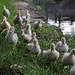 a troop of cute duck