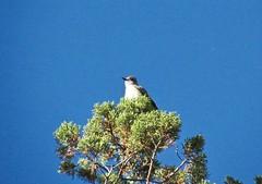 Ash-throated Flycatcher (manzanita-pct) Tags: tyrannidae birds oregon