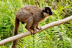 Common Brown Lemur (M) (Eulemur fulvus) (Susan Roehl) Tags: madagascar2017 islandofmadagascar offtheeastcoastofafrica andasibemantadianationalpark commonbrownlemur eulemerfulvus endangeredlist lemuridaefamily animal mammal occupiesavarietyofforesttypes lowlandrainforests montanerainforests moistevergreenforests drydeciduousforests eatsfruit youngleaves flowers invertebrates groupsof5to12 nodiscernibledominancehierarchies activeduringday sueroehl photographictours naturalexposures panasonic lumixdmcgh4 100400mmlens handheld cropped wood grass coth5 ngc